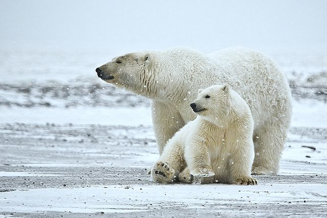 polar bears eating each other. Black Bedroom Furniture Sets. Home Design Ideas